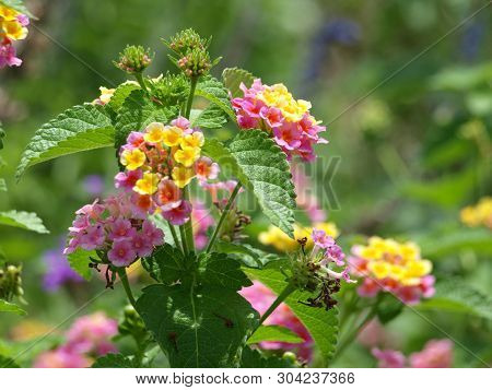 Multi-color Blooms Of This Plant Brighten The Garden That Is Water-wise And Thrives In All Aspects.