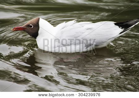 Beautiful gull quickly dissects the waves in the water poster