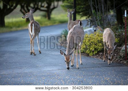 Wild Black Tail Deer. Wild Black Tail Deer eat corn left for them by an Animal Lover. A man talks to and feeds Wild Blacktail Deer in Spokane Washington.