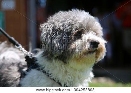 Bichon Frise - Shih Tzu (Correct Spelling) dog. Combination Shih Tzu and Bichon Frise dog outside enjoying a walk in the sun.