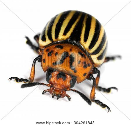 Colorado Potato Beetle Bug Isolated On White Background