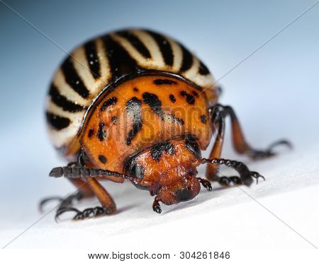 Alive Colorado Potato Beetle Bug Front View, Macro Close-up