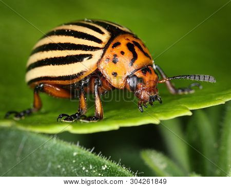 Alive Colorado Potato Beetle Bug On Green Leaf, Macro Close-up
