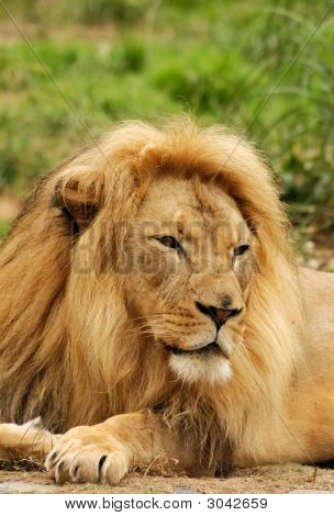 African Lion With Intense Look
