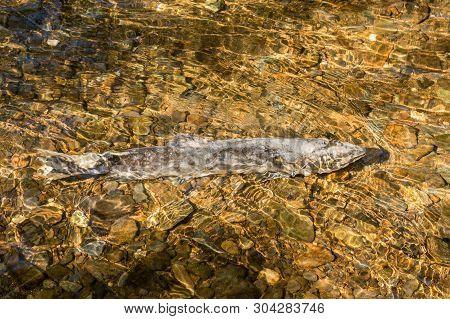 Dying Chinook Salmon During Spawning Season, Ketchikan Creek, Ketchikan, Alaska.