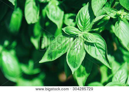 Green Basil Leaf Plant Growing In The Vegetable Garden Plantation / Fresh Sweet Genovese Basil Herb