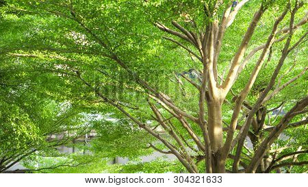 Tree And Green Nature Concept - Blurred Sunlight In Tree Shade Of Terminalia Ivorensis Chev Tree Wit