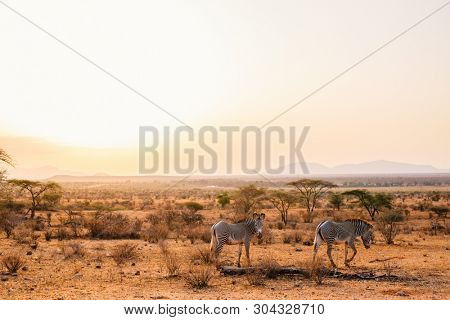 Samburu special five Grevys zebras in beautiful morning light at national park in Kenya
