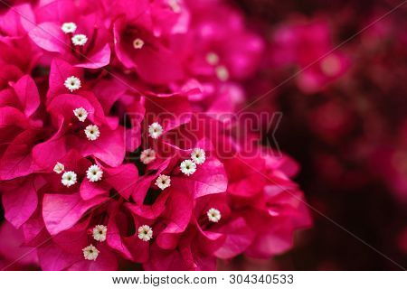 Pink Flower Azalea Rhododendron Group Bright Cerise Flowers Background Crops