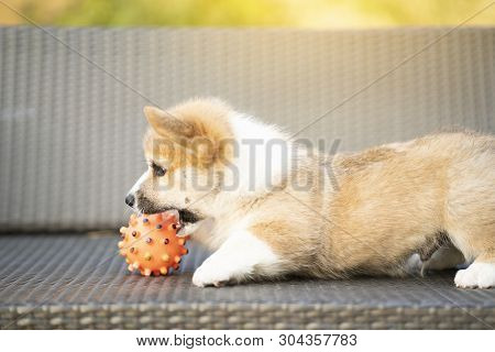 Puppy Corgi Dog Playing With Ball In Summer Sunny Day
