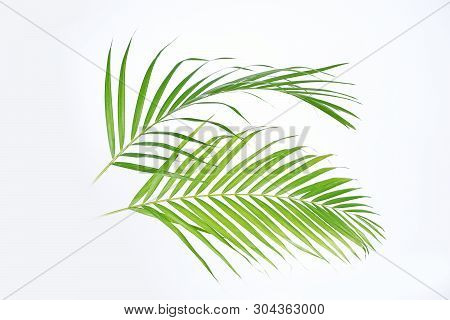 Green Palm Leaves (dypsis Lutescens) Or Golden Cane Palm, Areca Palm Leaves, Coconut Leaves Or Tropi