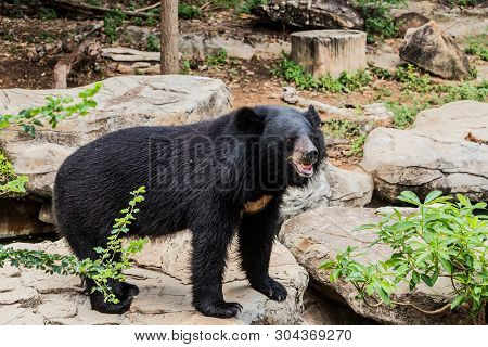Asian Black Bear With Chest The V Shape Is White Wool / Close Up Asiatic Black Bear Relax In The Sum