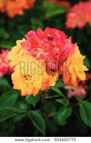 Colored Roses. Multicolored Flowers. Macro Photography Of Nature. Postcard
