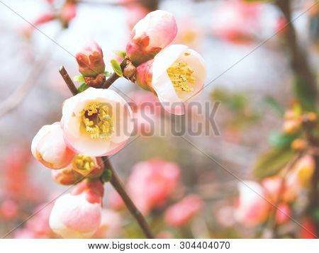 Blossoming Buds Cherry. Spring Vichy Tree. Nature Close Up.