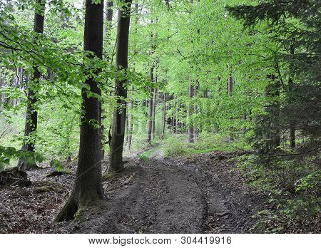 Spring View Of Forest Road, South Bohemia, Czech Republic