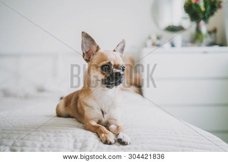 Chihuahua Is A Beautiful Little Dog Lying On The Bed. Brown Chihuahua On Bright Background