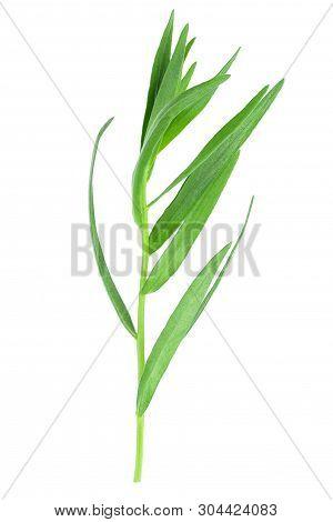 Tarragon Or Estragon Isolated On A White Background. Artemisia Dracunculus