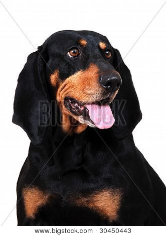 American Black & Tan Coonhound