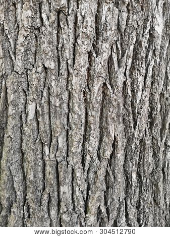 Exture Of Bark In Old Ashtree - Fraxinus Americana