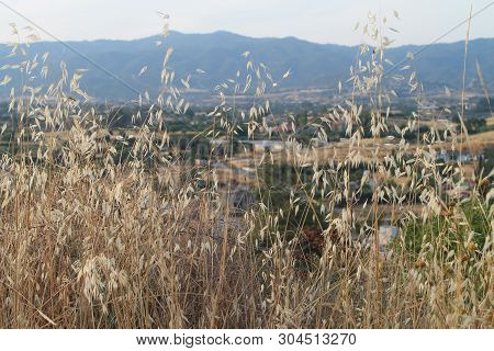 Close-up Of The Ripe Oat Ears With The Mountain Range On A Background