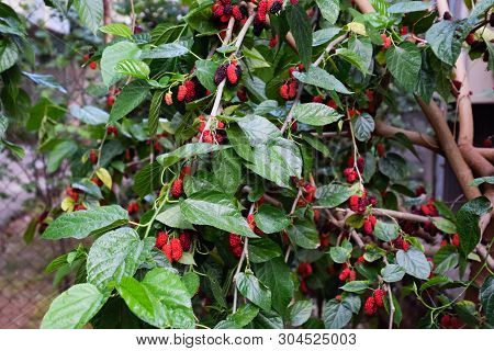 Berries Of Red Mulberry On The Branches Of A Tree.