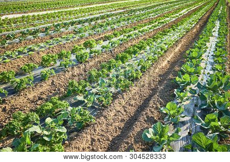 Picture Of An Organic Farm Field With Patches Covered With Plastic Mulch Used To Suppress Weeds And