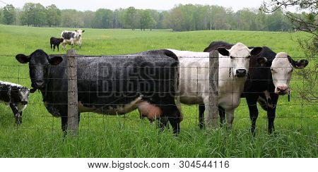 Herd Of Mottled Grey Black And White Roan Cows With Calves Standing By Page Wire Fence Looking At Ca