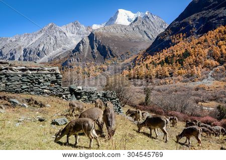 Animals Finding Food At Colourful Forest With Snow Mountain At Yading Nature Reserve, The Last Shang