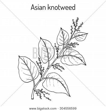 Asian, Or Japanese Knotweed Fallopia Japonica , Medicinal Plant. Hand Drawn Botanical Vector Illustr
