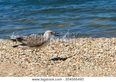 Young Caspian Gull Larus Cachinnans On The Beach With The Donut In Its Beak
