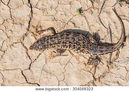 Top View Steppe Runner Lizard Or Eremias Arguta On Dry Ground