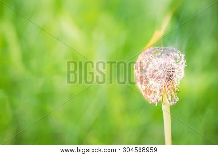Burning Dandelion, On A Green Field Close-up