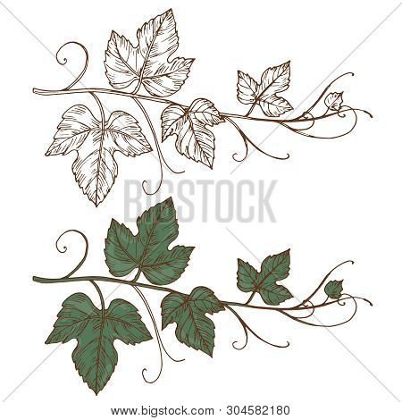 Sketch Grapevine Vector Isolated On White Background. Grapevine Branch, Design Of Botanical Viticult
