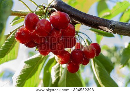 Big Red Cherries With Leaves And Stalks. Good Harvest Of Juicy Ripe Cherries. Cluster Of Ripe Cherri