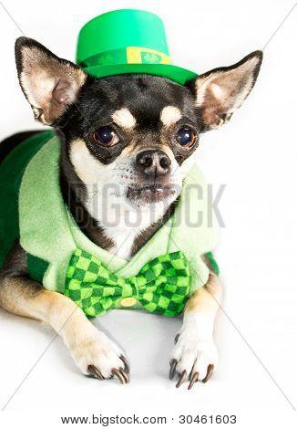 St. Patty's Day Chihuahua