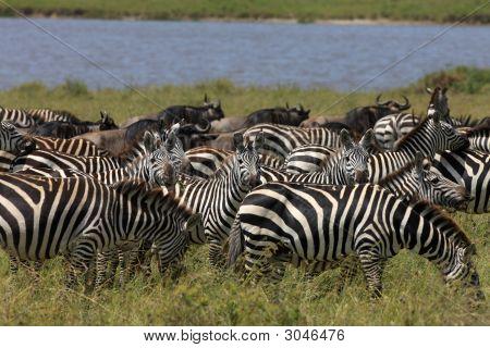 Zebra und gnus während der Migration