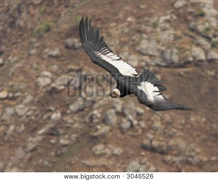 Condor With Rocky Background