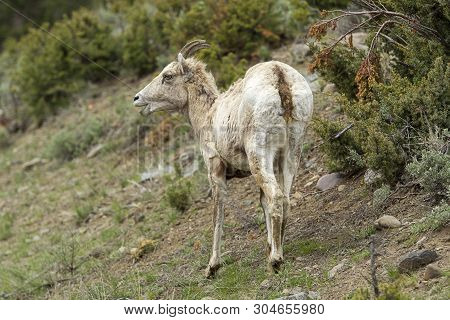 A Close Up Portraiture Of A Young Bighorn Sheep On A Hillside In Yellowstone.