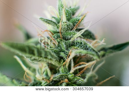 Indica And Sativa Medical Universities Cannabis Bud. Bud Cannabis Before Harvest. Concepts Of Legali