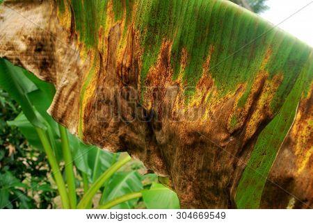 Kluai Hom Thong is a dead disease. Bananas are a yellow leaf disease.; poster