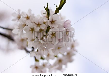 Cherry Blossoms, Shallow Depth Of Field , Stock Photo