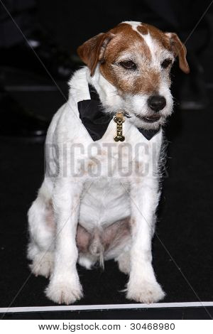LOS ANGELES - FEB 26:  Uggie arrives at the 84th Academy Awards at the Hollywood & Highland Center on February 26, 2012 in Los Angeles, CA.