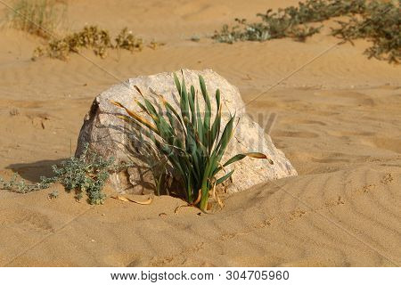 Green Plants And Flowers Grew Up In Difficult Conditions On The Sand In The Desert