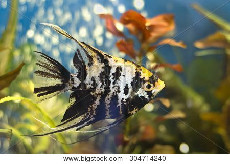 Exotic Angelfish Or Freshwater Angelfish In Blue Water. Pterophyllum Scalare. It Is Native To The Am