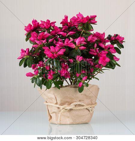 Beautiful Azalea Flower In A Brown Pot On Light Background