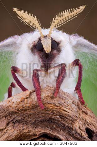 Luna Moth Portrait