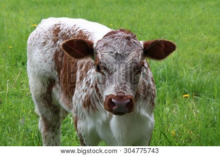 Close-up Of Young Mottled Rust And White Colored Roan Calf Standing Isolated On Green Spring Grass
