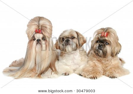Shih Tzu dogs on A White Background
