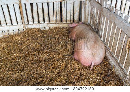Pig Sleeping In Pigpen On Hay, Adult Domestic Farm Animal Resting In Pigsty