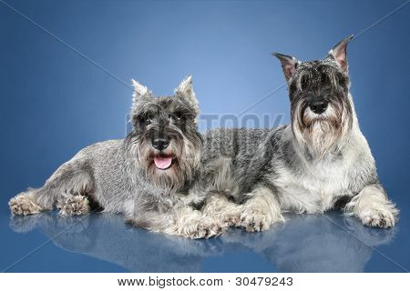Two Mittelschnauzer Lying On Blue Background